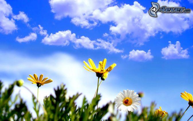 žlté kvety, oblaky