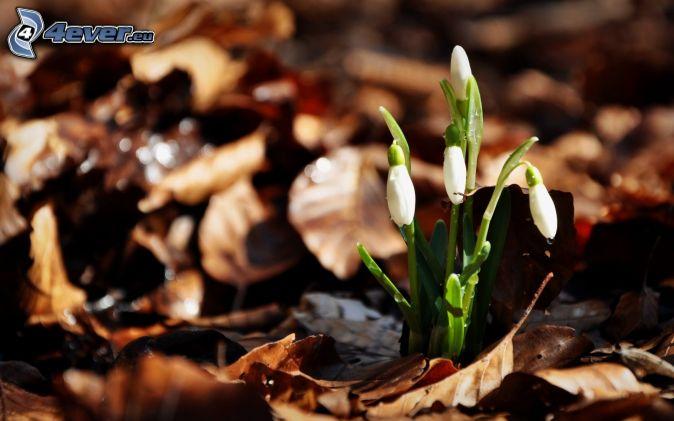 snežienky, suché listy