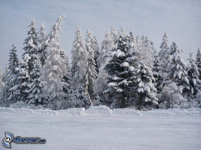 zasnežené stromy, zasnežená lúka