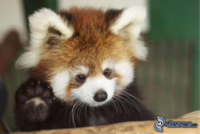 červená panda