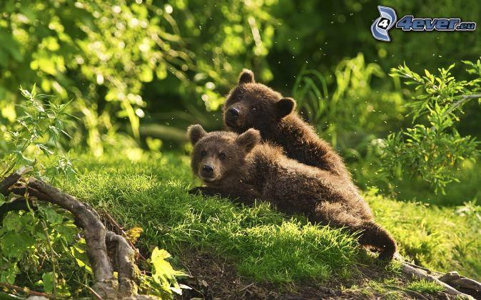 hnedé medvede, mláďatá, príroda