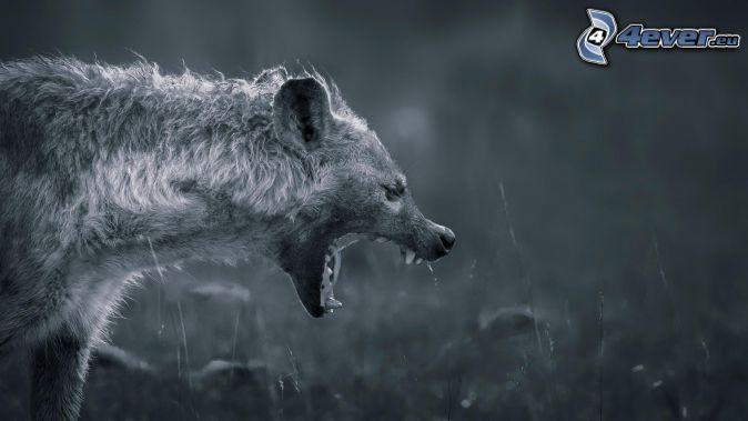 hyena, čiernobiele