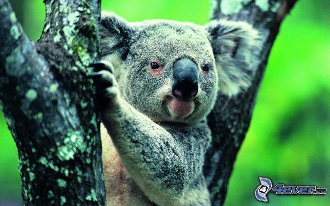 koala, kmeň