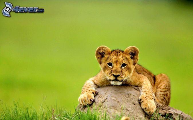 mláďa leva