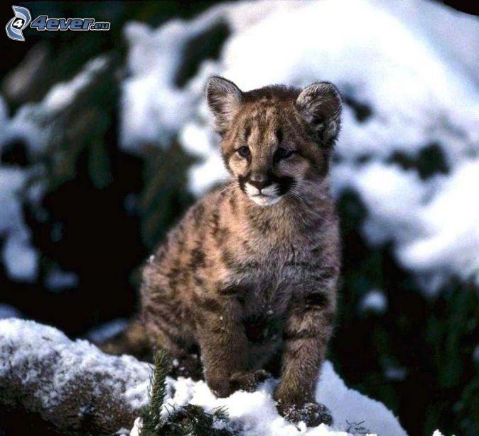 mladá puma, sneh