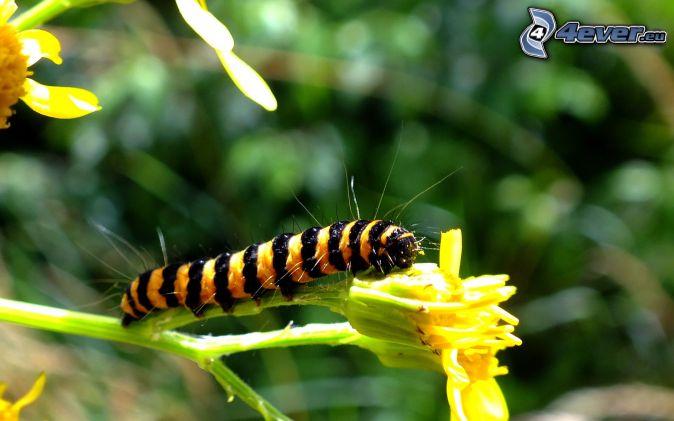 húsenica, žltý kvet