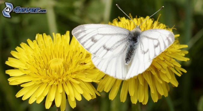 motýľ na kvete, púpavy, makro