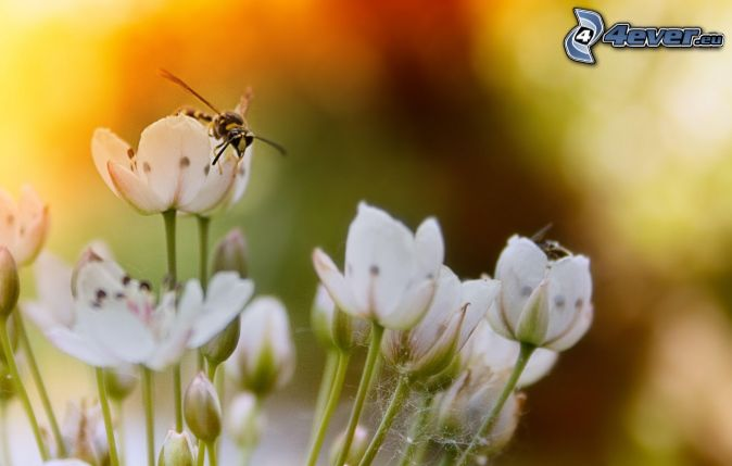 osa na kvete, biele kvety