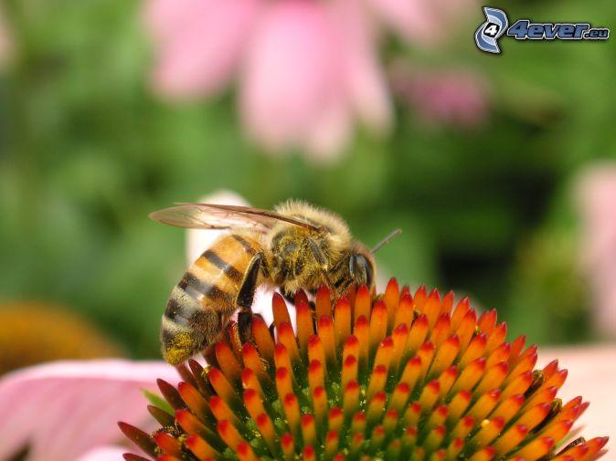 včela, kvet
