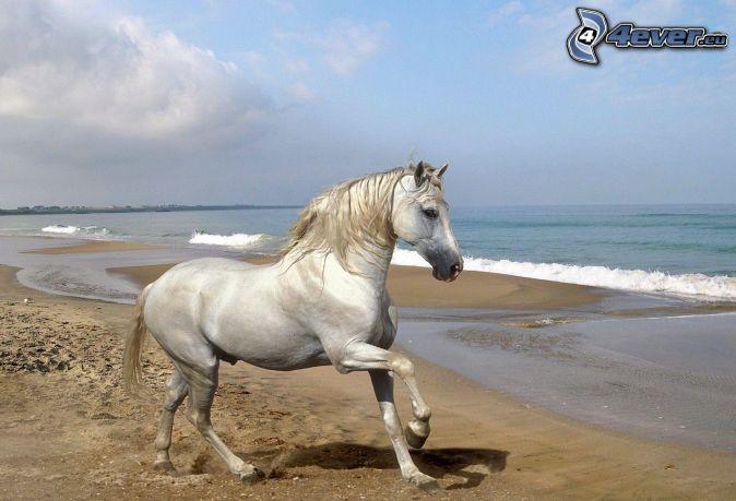 biely kôň, piesočná pláž, more