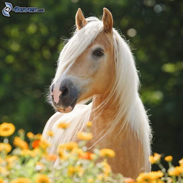 hnedý kôň, žlté kvety