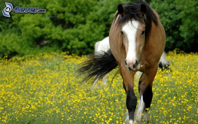 kôň, žlté kvety