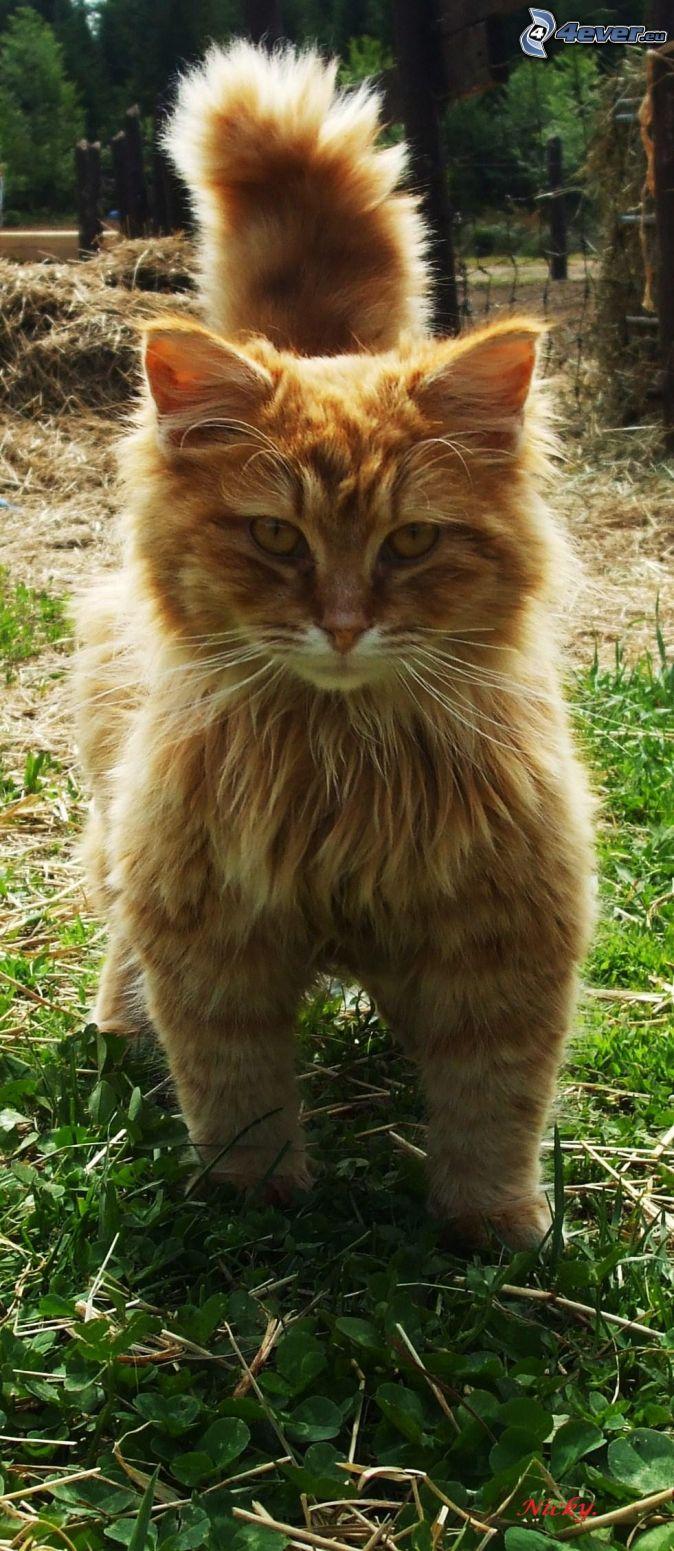 hnedá mačka