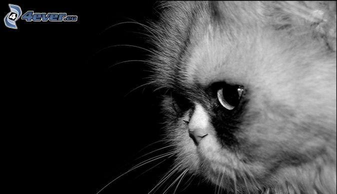 Perzská mačka, čiernobiele