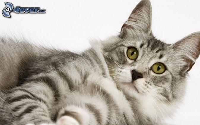 sivá mačka