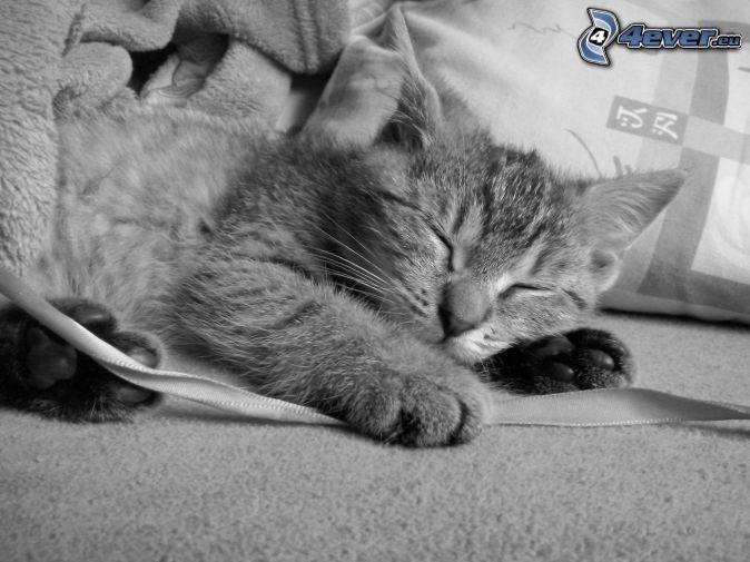 spiaca mačka, čiernobiela fotka