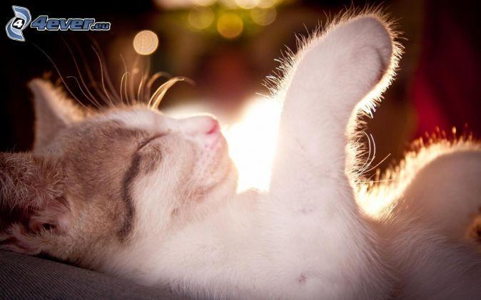 spiaca mačka, labka