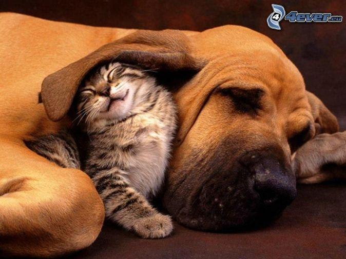 pes a mačiatko, ucho, spánok