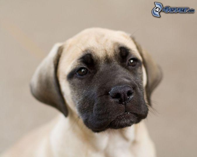 Anglický mastif, šteniatko