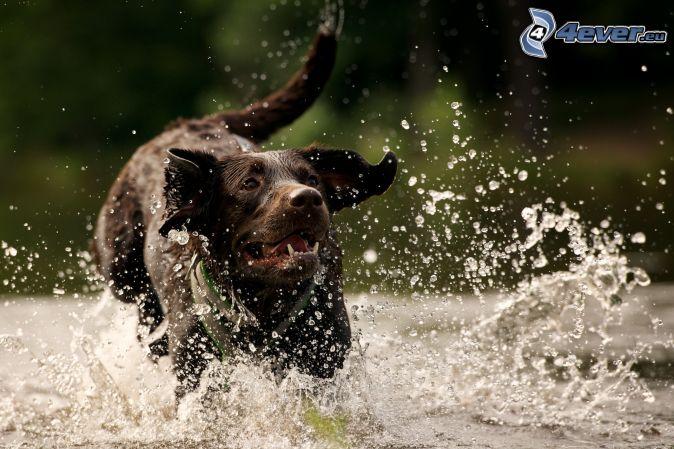 hnedý pes, voda