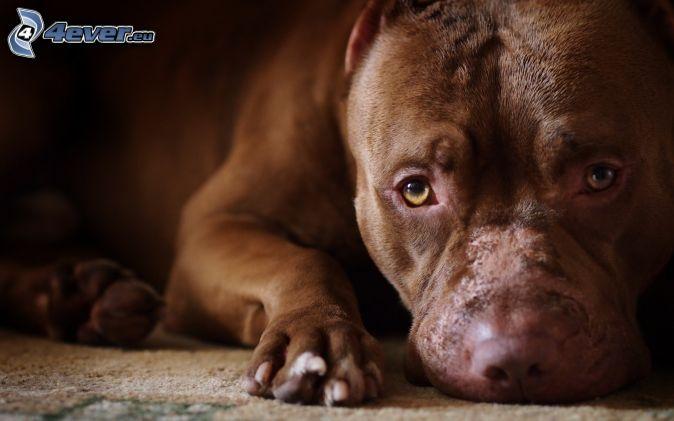 pitbul, hnedé šteniatko, psí pohľad