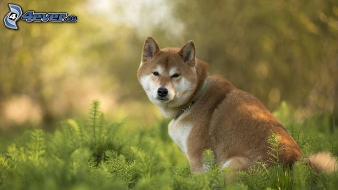 Shiba-inu, vysoká tráva