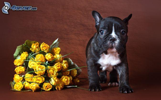 šteniatko, žlté ruže