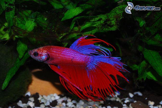 červená rybka