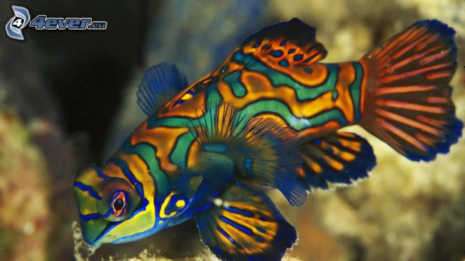 farebná ryba