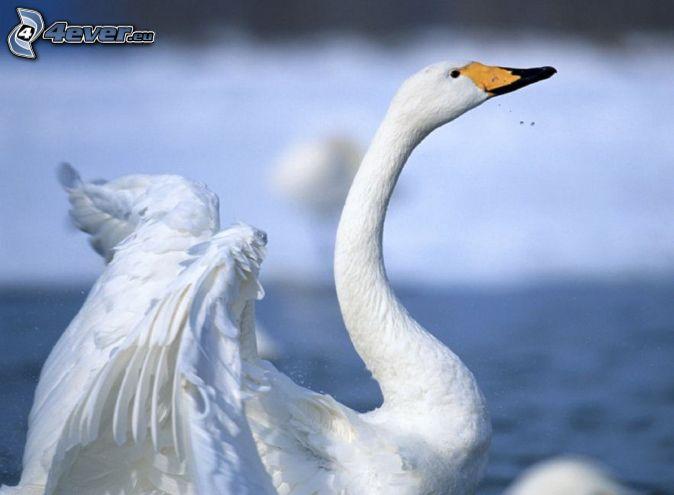 labuť, krídla