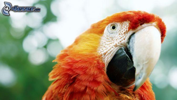 papagáj Ara