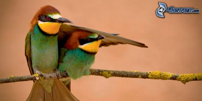 včelárik zlatý, vtáčiky na konári