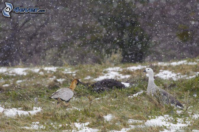 vtáky, sneh, sneženie
