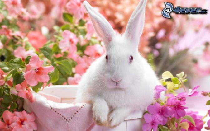 zajac, ružové kvety