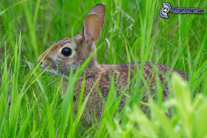 zajac v tráve