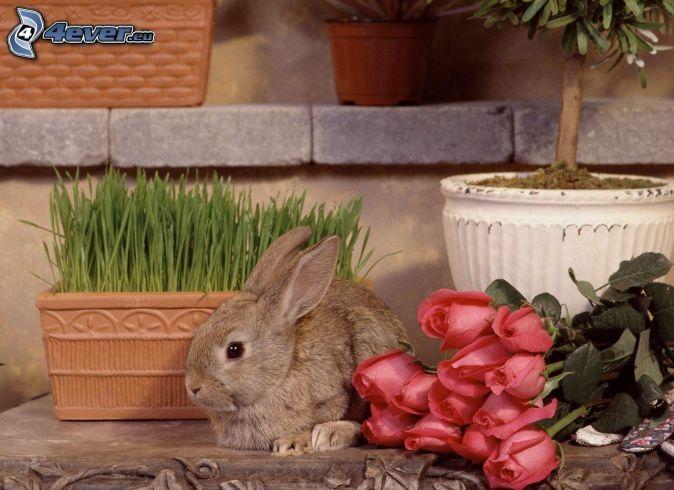 zajačik, červené ruže