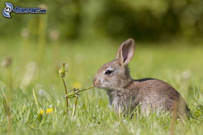 zajačik, púpavy