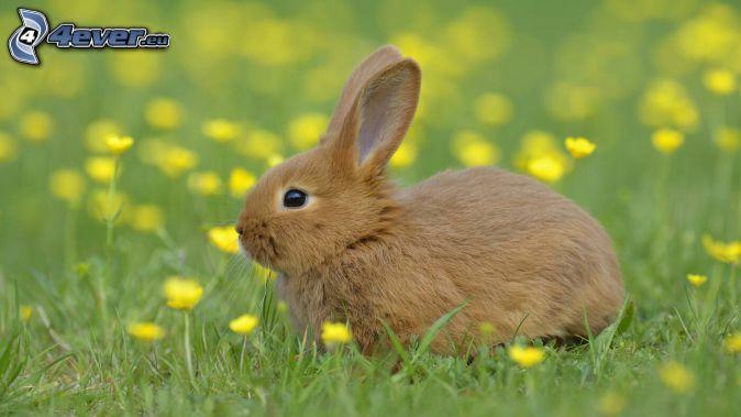 zajačik, žlté kvety