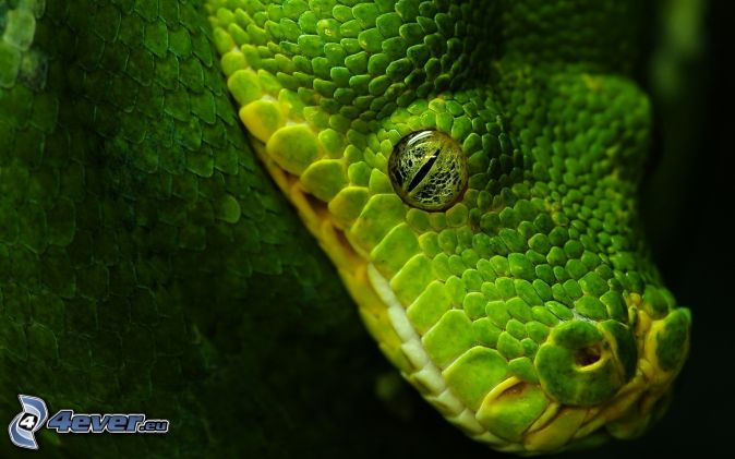 Zelený had , zelené oko