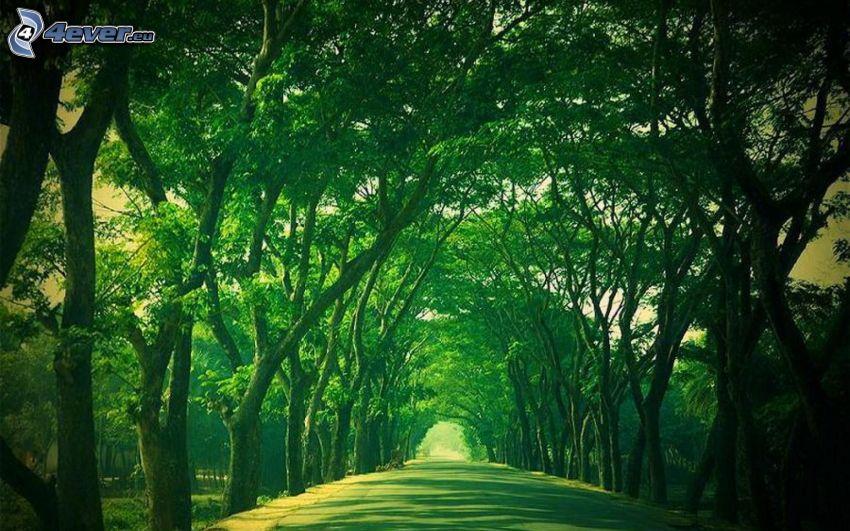 cesta, stromová alej, zelené stromy