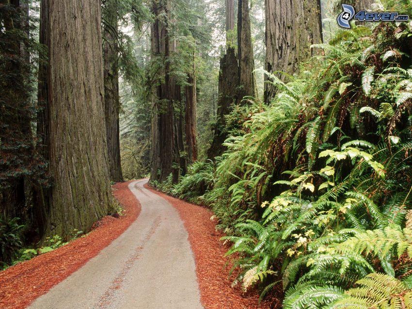 cesta lesom, sekvoje