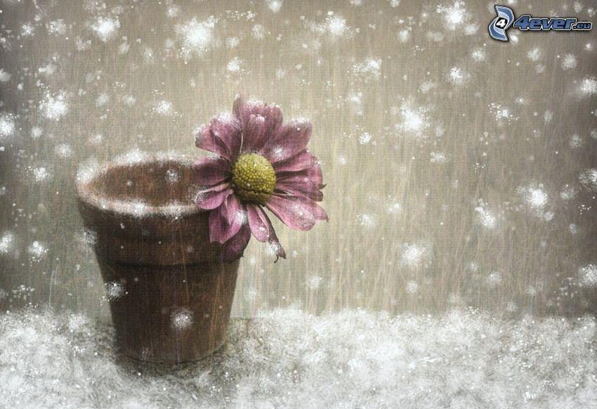 kvetináč, fialový kvet, sneh