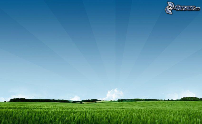 pšeničné pole, slnečné lúče