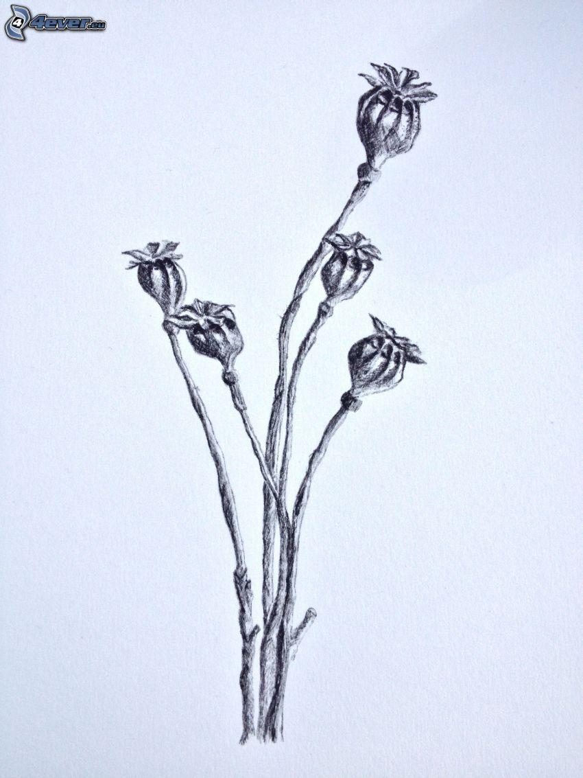 makovice, kreslené