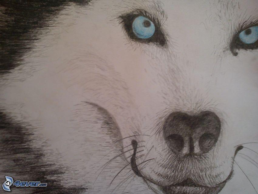 Sibírsky husky, kreslené, modré oči
