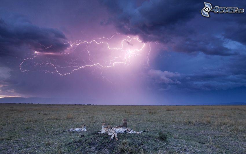blesky, tmavá obloha, gepardy, lúka