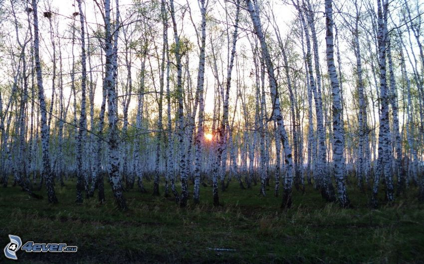 brezový les, západ slnka v lese