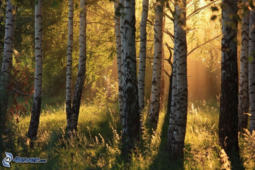 brezový les