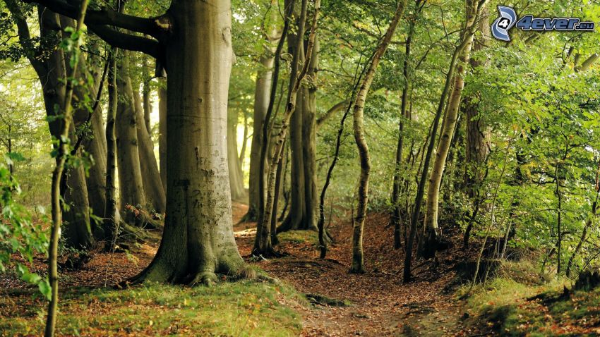 bukový les, lesná cesta