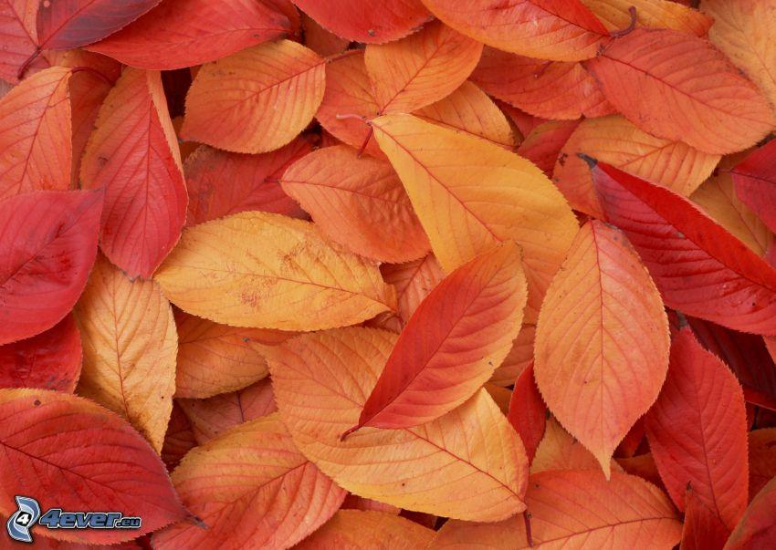 červené listy, jesenné lístie